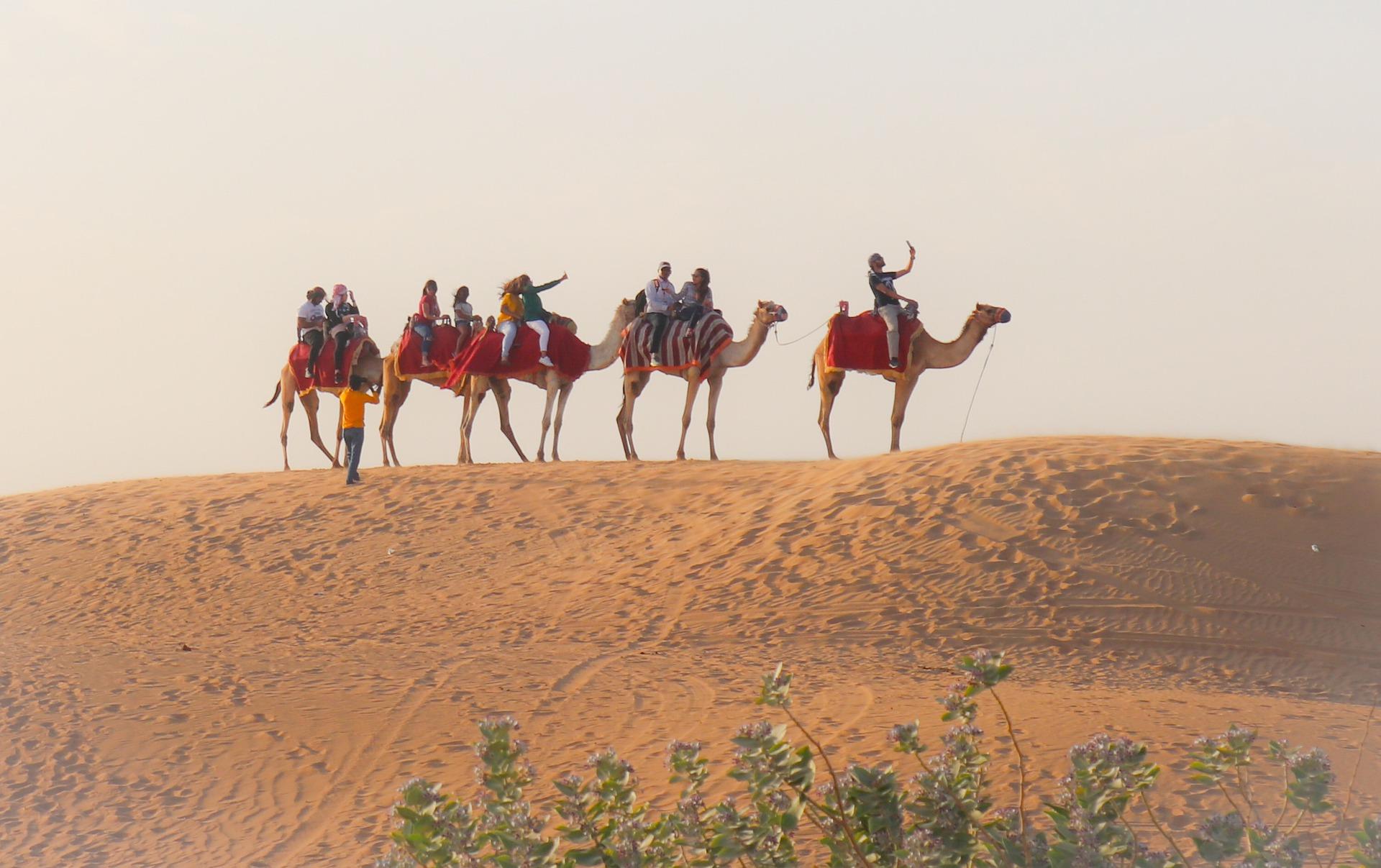 Прогулка на верблюдах в ОАЭ
