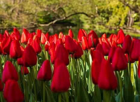 Тюльпаны в Турции
