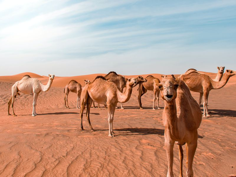 Караван верблюдов где-то в пустыне ОАЭ